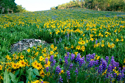 crested_butte_wildflowers_004