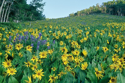 crested_butte_wildflowers_010