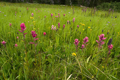 crested_butte_wildflowers_034