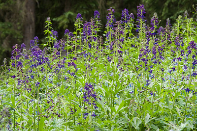 crested_butte_wildflowers_035