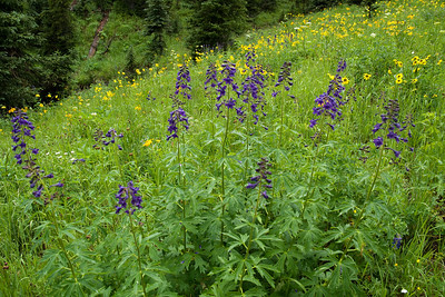 crested_butte_wildflowers_038