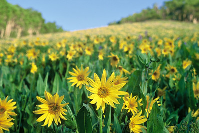 crested_butte_wildflowers_011