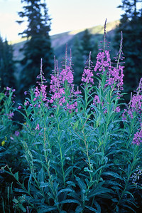 crested_butte_wildflowers_006