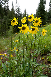 crested_butte_wildflowers_037