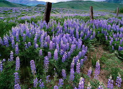 crested_butte_wildflowers_002