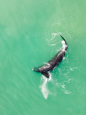 Aerial view of southern right whale splashing fin, Western Cape, South Africa
