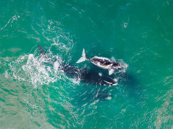 Aerial view of southern right whale with baby calves, Western Cape, South Africa