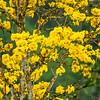 Yellow Guayacan - Near Mindo, Ecuador.