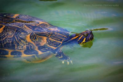 Destin_Turtles-1