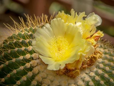 flor de cactus-JB
