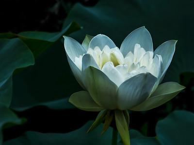 lotus branco