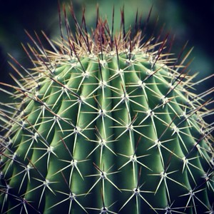 cactus verte