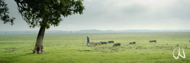 Huteweide, Schweinehirte mit Turopoljer Schweinen, Save-Auen, Kroatien, - Ein Schweinehirte in den kroatischen Save-Auen kommt zur täglichen Fütterung seiner Turopoljer Schweine. Die Schweine bekommen nur eine handvoll Maiskörner vom Hirten, um sie nicht völlig vom Menschen zu entwöhnen. Ihr gesamtes übriges Futter suchen sich die Tiere das ganze Jahr über selbst in den Huteweiden an der Save.