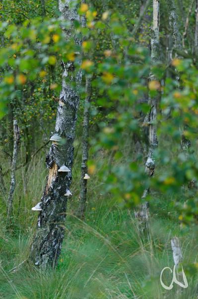 Moor-Birke, Moorbirke, Betula pubescens, Downy Birch, Birken im Pietzmoor, Lüneburger Heide, Schneverdingen, Deutschland, Lüneburg Heath, Germany