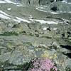 Blumenkissen in Gletscherlandschaft, Alpen, Berge, Gebirge, Gran Paradiso Nationalpark, Italien
