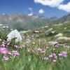 Bergblumenwiese, Gran Paradiso Nationalpark, Italien, Alpen