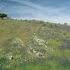 blühende Wiese, Natternkopf, Frühling, Extremadura, Spanien