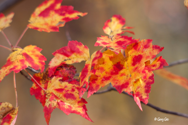 More maple leaves in vibrant colors