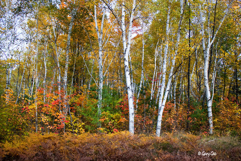 birch and maple color