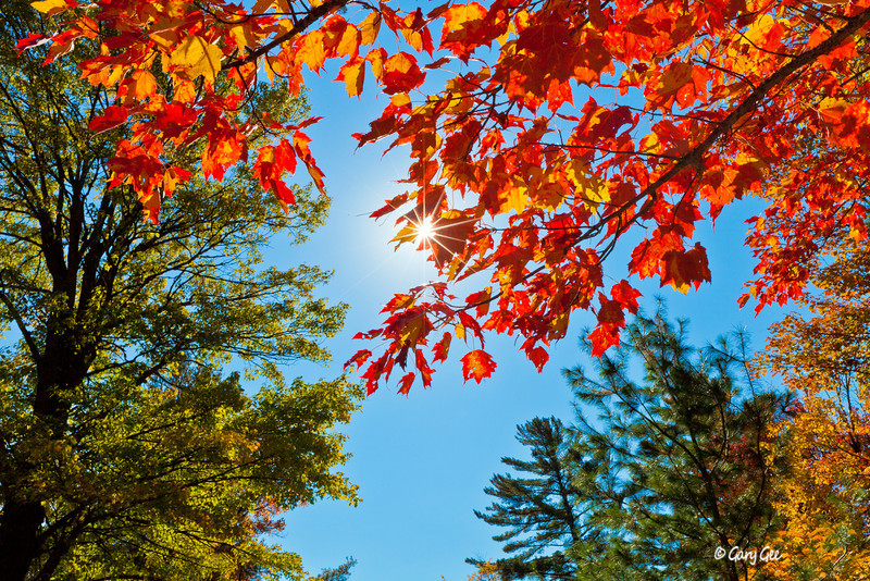 Fall Maple with sun