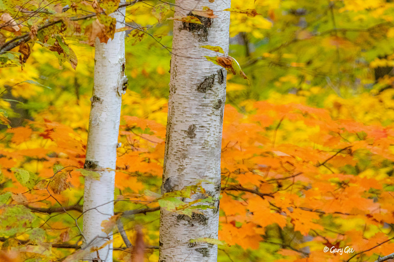 Fall Colors with Birch Tree - 2019
