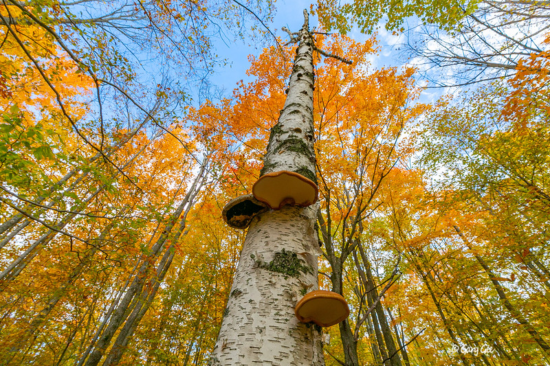Mushrooms on Birch during Fall colors - 2019