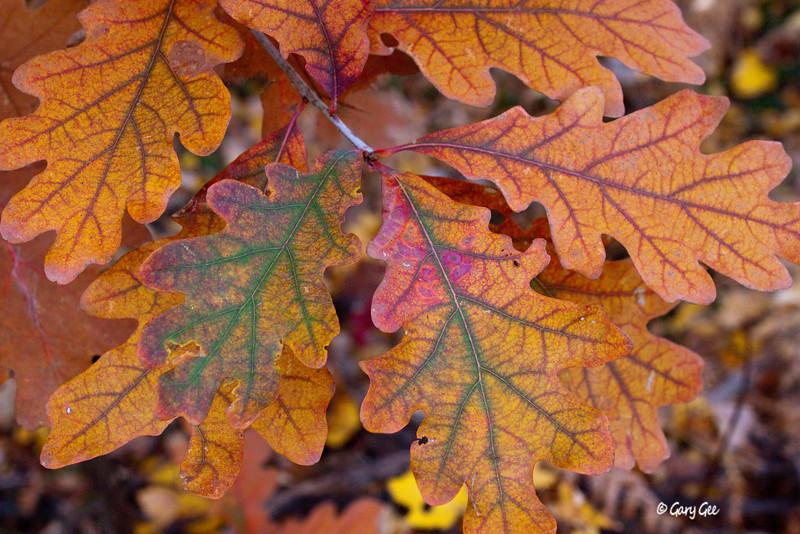 Who says Oak Leaves don't have nice color?!