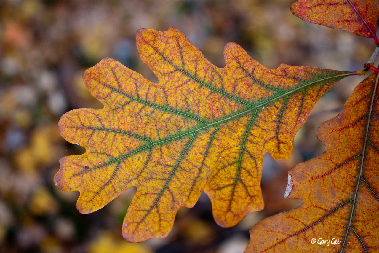 Colorful White Oak Leaf