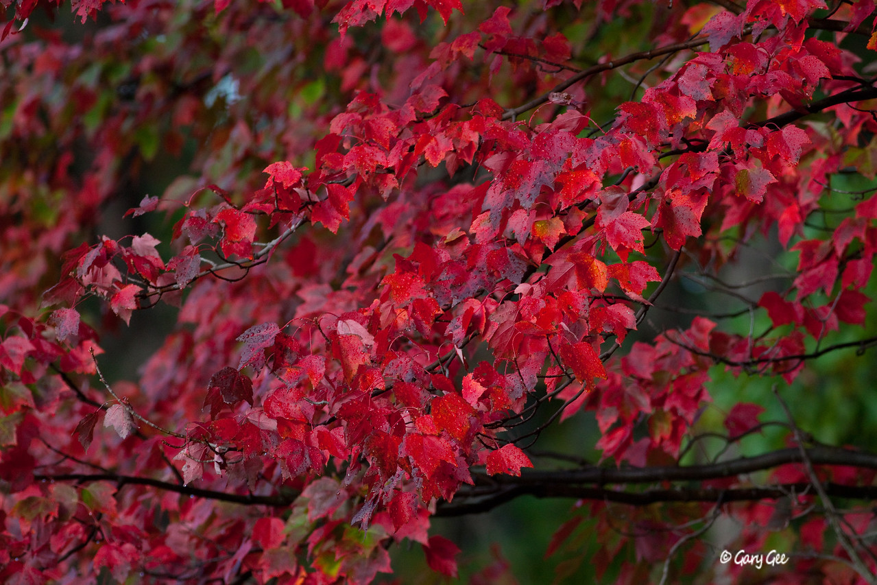 Fall Maple in the Rain