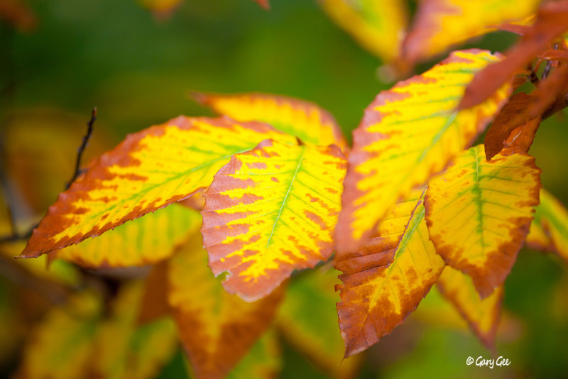 Beech Leaves as fall sets in....