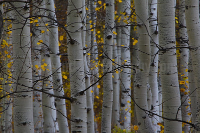 Fall Aspen Abstract