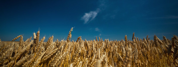 Wheat Field, Croatia, Slavonia, Europe