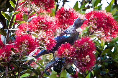 Tui in a Christmas Tree
