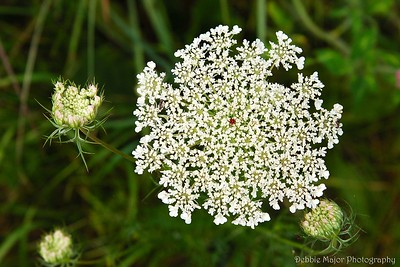 Queen Ann's Lace Red Center