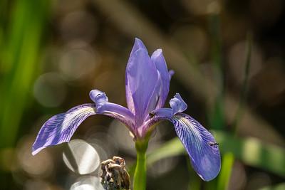 Northern Blue Flag Iris.