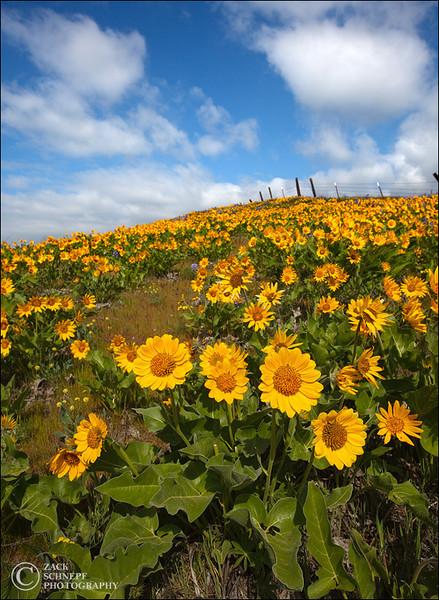 "<font color=""#FFFFFF"" size=""4"" face=""Verdana, Arial, Helvetica, sans-serif"">Balsam Root Field</font><br> Columbia River Gorge, Oregon"