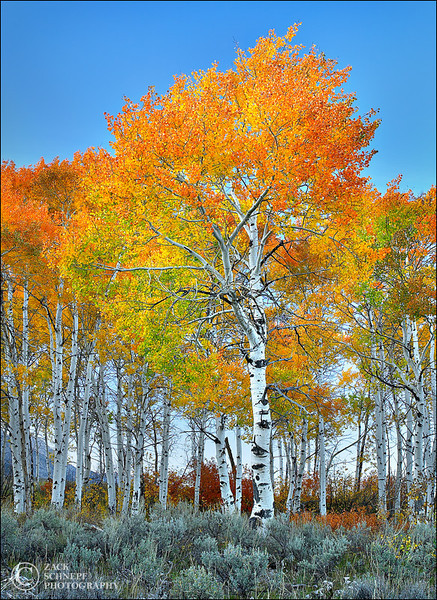 "<font color=""#FFFFFF"" size=""4"" face=""Verdana, Arial, Helvetica, sans-serif"">Blazing Aspens</font><br> Grand Teton NP, Wyoming"