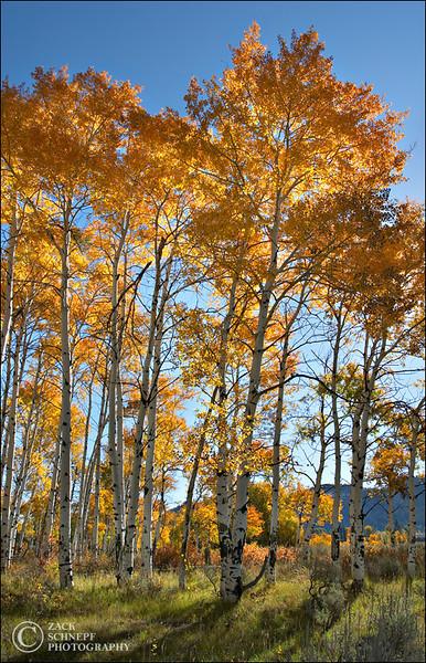 "<font color=""#FFFFFF"" size=""4"" face=""Verdana, Arial, Helvetica, sans-serif"">Aspen Trees</font><br> Grand Teton NP, Wyoming"