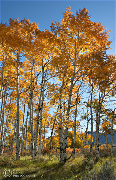 "<font color=""#FFFFFF"" size=""4"" face=""Verdana, Arial, Helvetica, sans-serif"">Aspen Trees</font><br> Grand Teton NP, Wyoming"