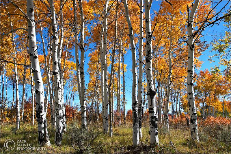 "<font color=""#FFFFFF"" size=""4"" face=""Verdana, Arial, Helvetica, sans-serif"">Aspen Grove</font><br> Grand Teton NP, Wyoming"
