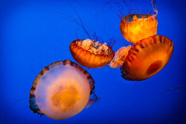 Jelly Fish - Gatlinburg, TN