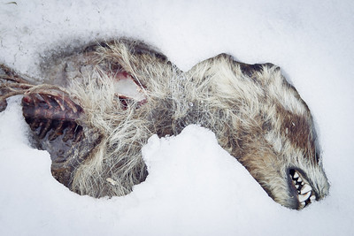 Animal remains