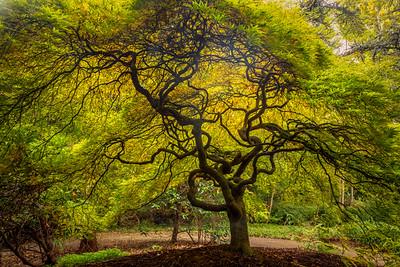 Japanese Maple - Kubota Garden, Seattle