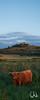 Schottisches Hochlandrind auf einer Feuchtwiese bei Unterjesingen, Wurmlinger Kapelle im Hintergrund