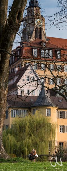 Nilgans auf der Neckarinsel, Tübingen, im Hintergrund Hölderlinturm und Stiftskriche