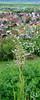 Bocksorchis (Himantoglossum hircinum) am Hirschauer Berg, Bocks-Riemenzunge