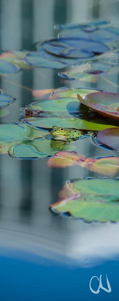 Wasserfrosch im Botanischen Garten Tübingen, mit Spiegelung des Tropicariums