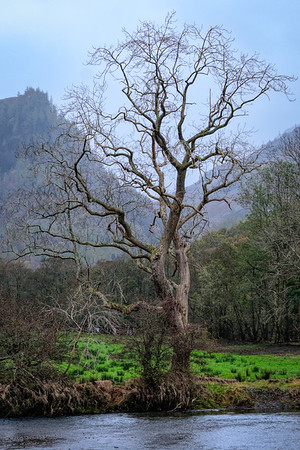 Oak on the banks of the Derwent