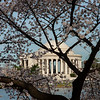 Jefferson Memorial with Cherry Blossums
