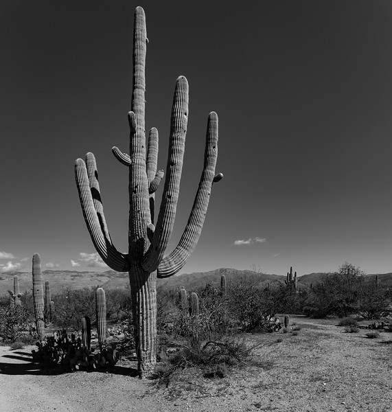 Grandfather Saguaro